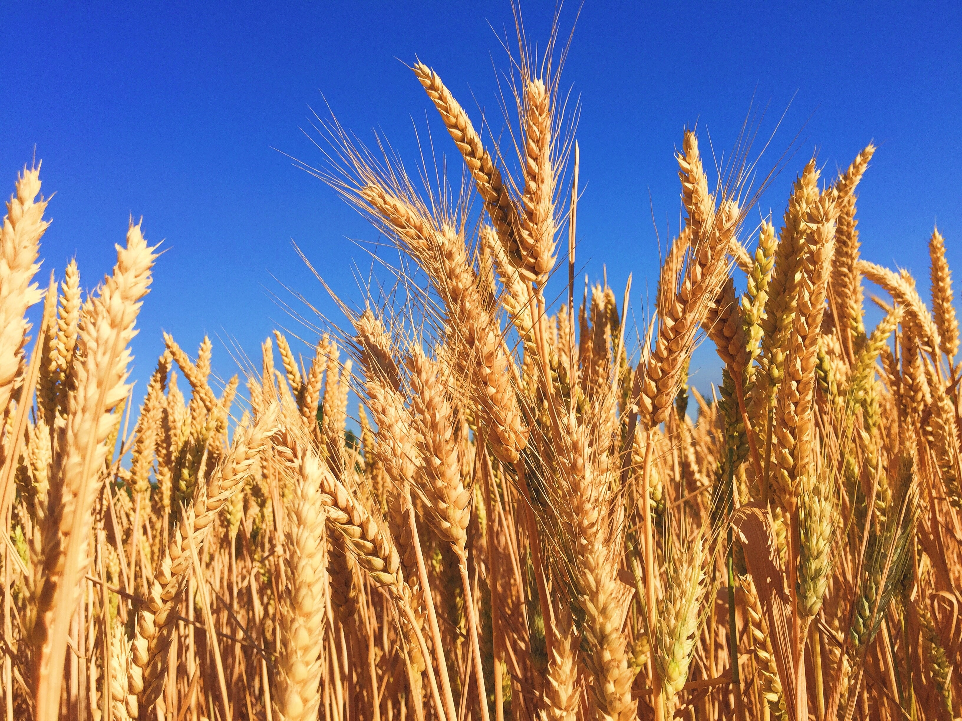 The Future of Healthy GMOs